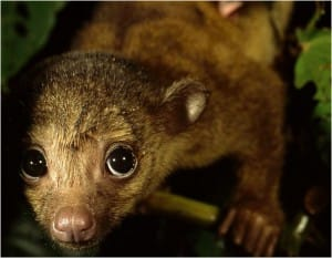 http://animals.nationalgeographic.com/animals/enlarge/kinkajou-closeup_image.html