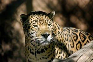 Jaguar, chasse interdite