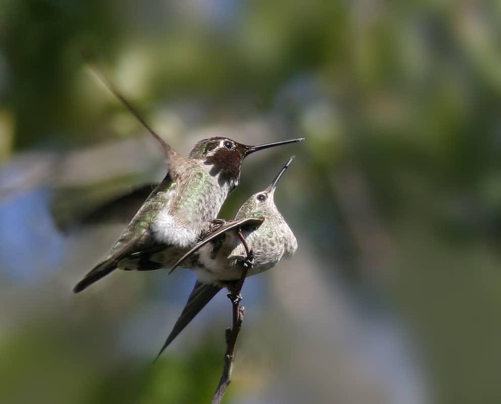 le colibri symbole sexuel