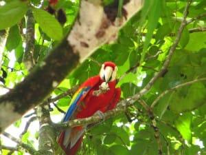 Ara écarlate, une merveille du Costa Rica