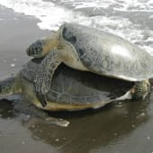 1012-wwf-surveille-tortues-costa-rica