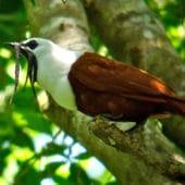 oiseaux-procnias-tricarunculatus-costa-rica-decouverte