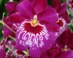 Costa-Rica-fete-les-orchidees