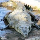 1008-cherche-femelle-crocodile-costa-rica
