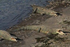 Costa-Rica-Cherche-femelle-crocodile