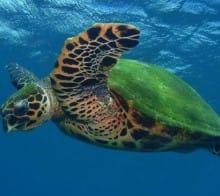 tortue-carey-drake-bay-costa-rica-decouverte