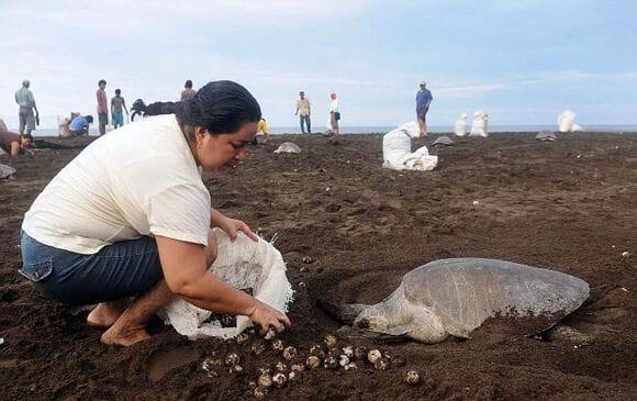"""Résultat de recherche d'images pour """"Les tortues olivâtres, plage d'Ostional"""""""