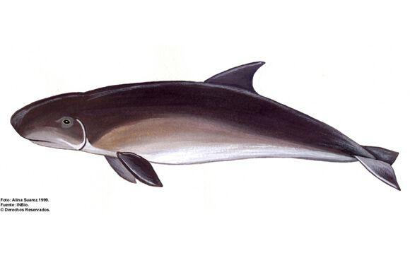cachalot-nain-costa-rica-decouverte