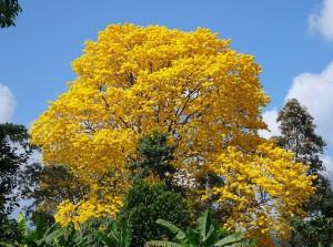 reboiser-dan-jose-corteza-amarilla