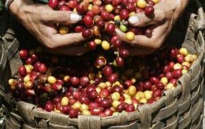 recolte-cafe-grain-dor-costa-rica-decouverte