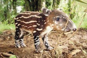 Bébé tapir, espèces menacées