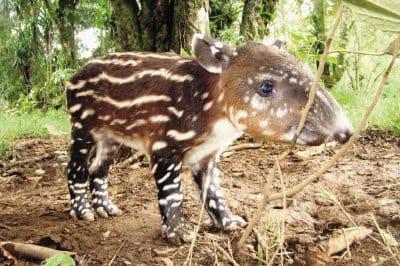 Naissance d'un bébé tapir