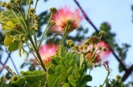 Fleurs de l'arbre de pluie