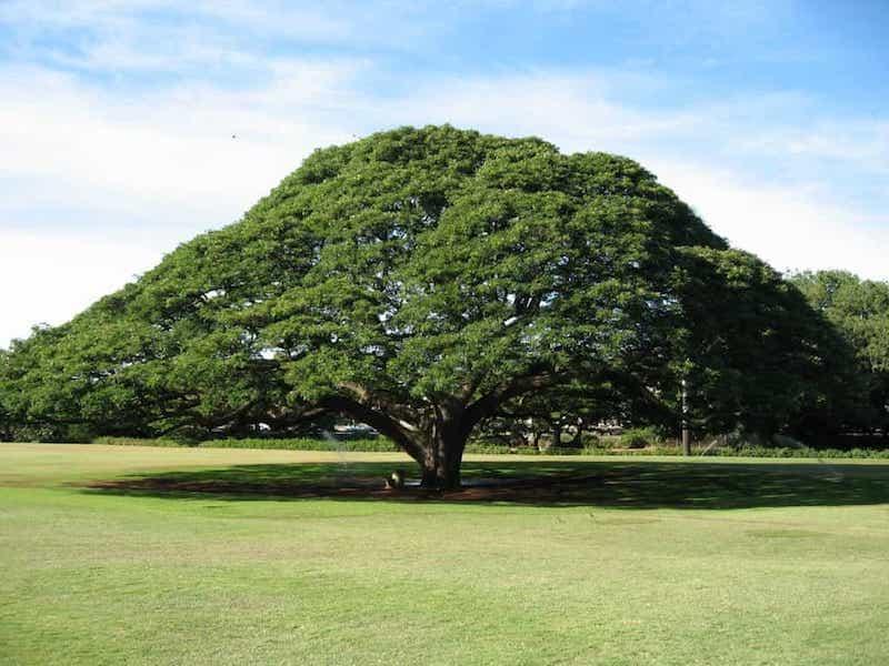L'arbre de pluie ou Samanea Saman