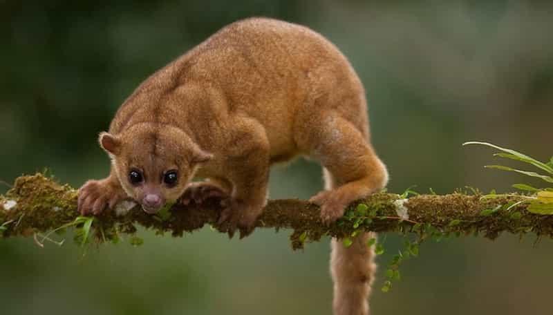 Le kinkajou, ce petit animal étrange