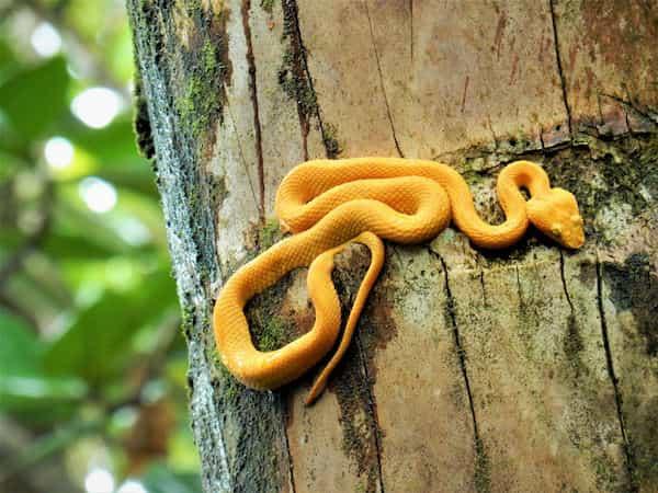 vipere au parc national de Cahuita