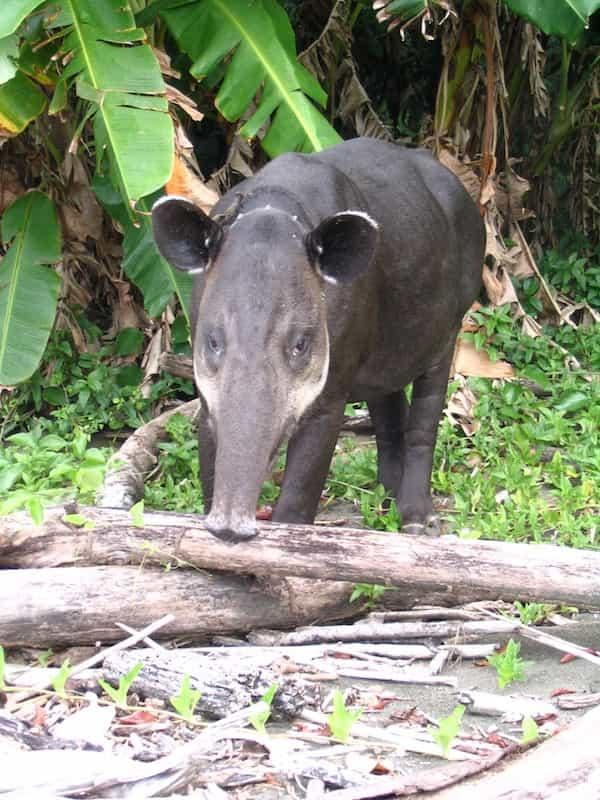 Un tapir, emblème du parc national Corcovado