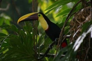 Toucan-de-Swainson-securite-au-costa-rica