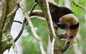 Le fourmiler arboricole à Corcovado au Costa Rica