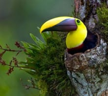 toucan-de-swainson-costa-rica-decouverte