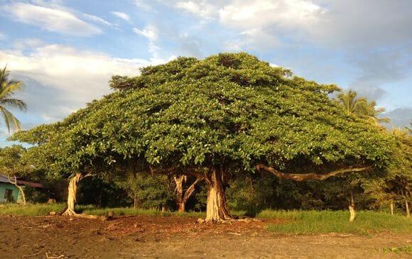 Le Guanacaste, arbre majestueux emblème de la région éponyme