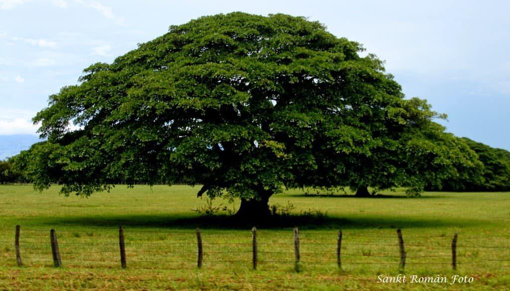 guanacaste-arbre-costa-rica-decouverte
