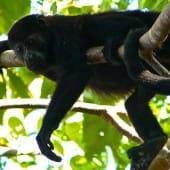2711-quatre-singe-costa-rica