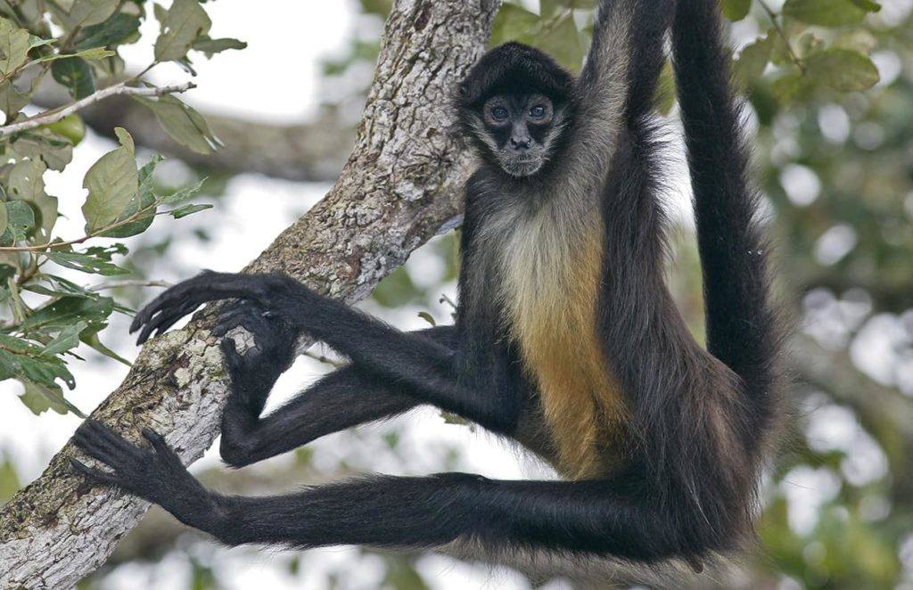 singes-araignee-costa-rica-decouverte