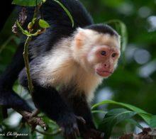 singes-capucin-carablanca-costa-rica-decouverte