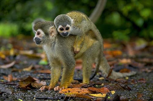 singes-ecureuil-costa-rica-decouverte