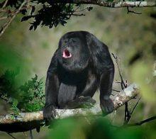 singes-hurleur-costa-rica-decouverte