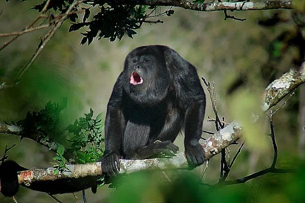 singes-hurleur-costa-rica-decouverte