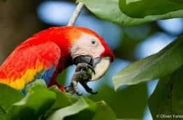 Ara macaw