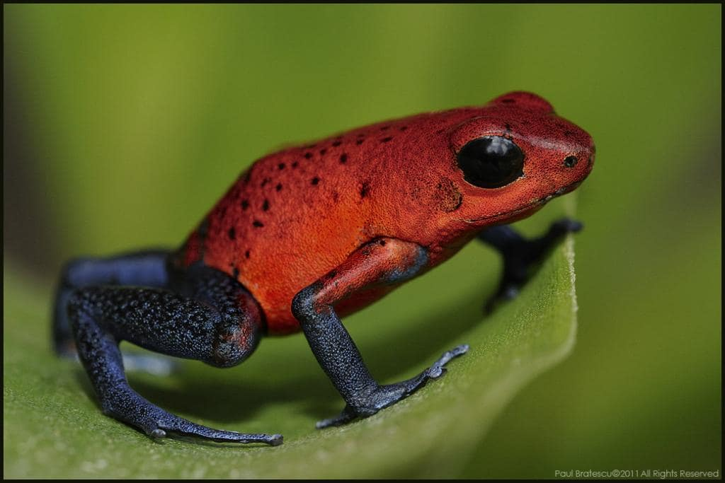 Grenouille Costa Rica dendrobates, grenouilles et crapauds | costa rica découverte