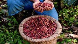 recolte-du-cafe-panier-cerises-mains