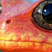 1403-Dendrobates-grenouilles- crapaud-costa-rica