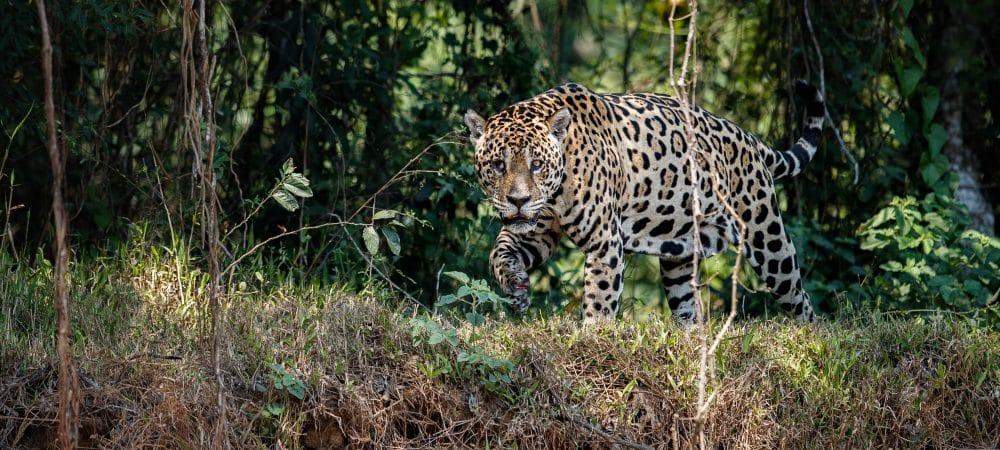 Jaguar dans la réserve du Bosque de los Ninos a Monteverde