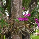 Orchidee-violette-arbre