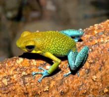 Dendrobate Oophaga - Granulifera à découvrir au détour d'un sentier durant un voyage sur mesure au Costa Rica
