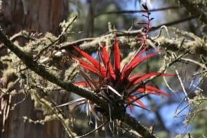 Epiphyte rouge