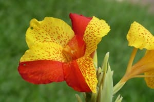 fleur-rouge-jaune-costa-rica-decouverte