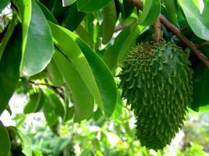 Guanabana ou corrossol