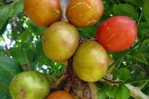 Prune chenille