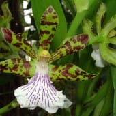 Orchidee Zygopetalum crinitum