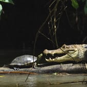Tortue & caiman