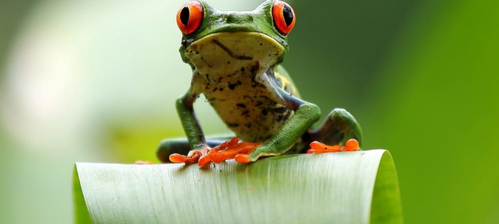 Grenouille aux yeux rouges Costa Rica