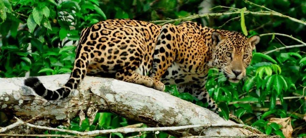 Jaguars et loups même combat