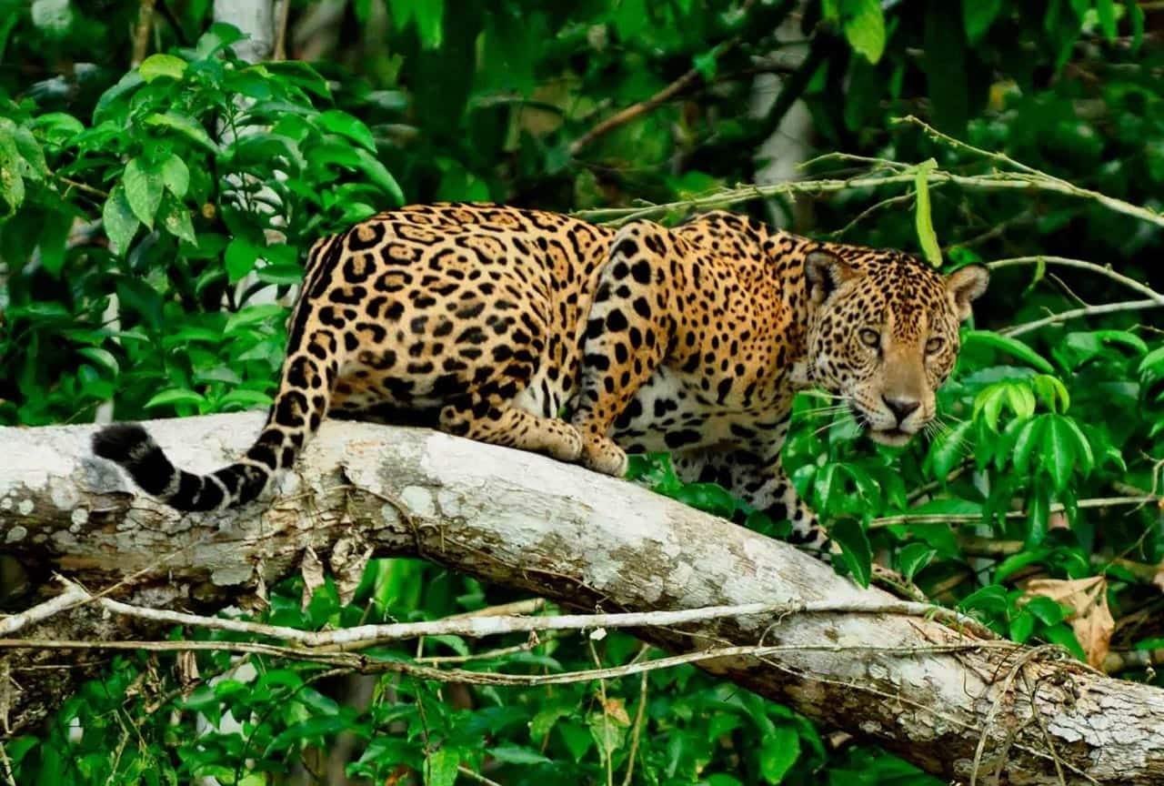 Jaguar et loup même combat