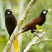 Couple d'Oropendola