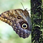 Papillon hibou morpho